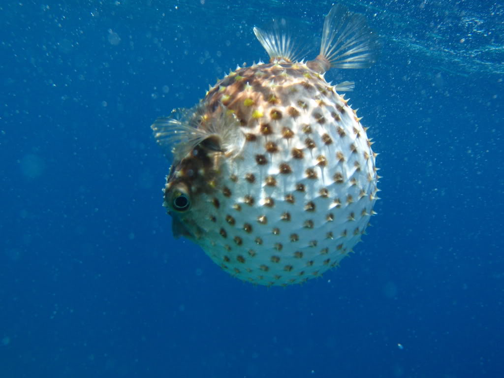 301 moved permanently for A puffer fish